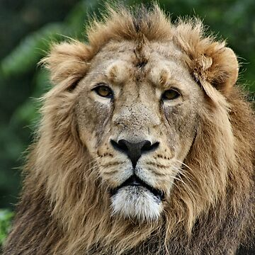 Leo Stare by Yampimon