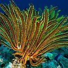 Feather Star, Kimbe Bay, Papua New Guinea by Erik Schlogl