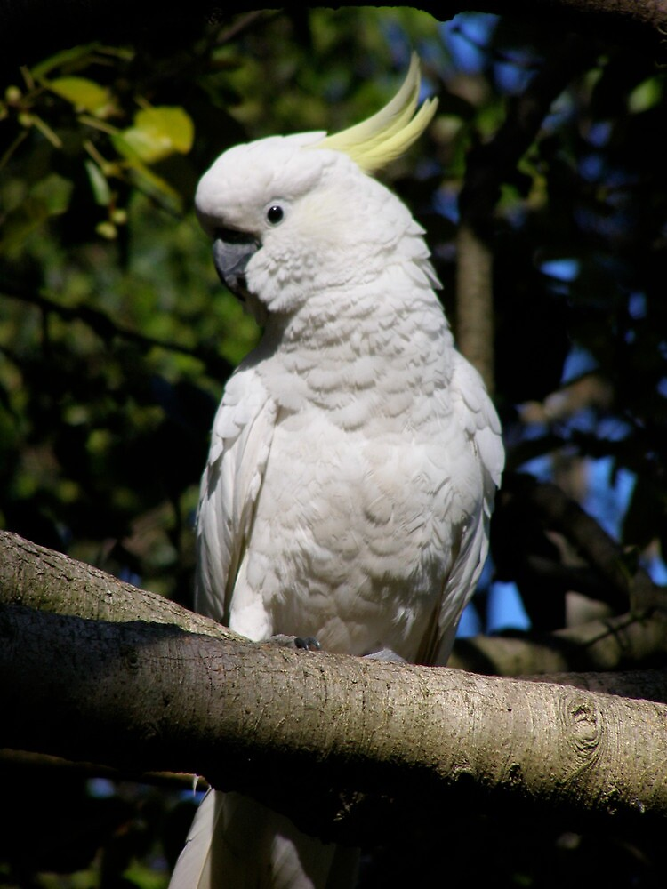 the curiosity of a sulphur crested cockatoo by cheza77