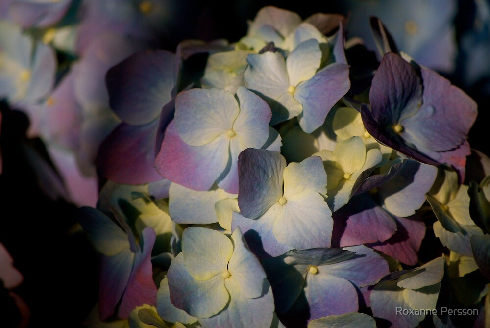 Endless Hydrangea by Roxanne Persson
