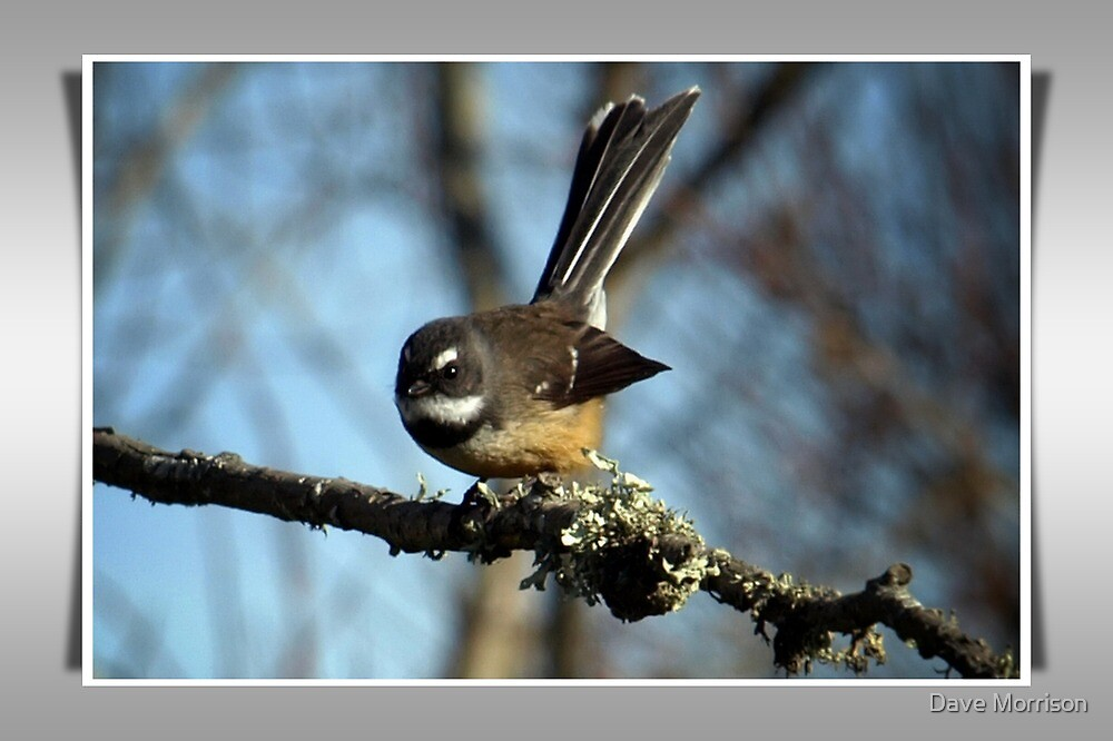 Fantail by Dave Morrison