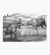 Two Moose Pair Off Photographic Print