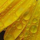 Yellow Marigold Flower Petals and Raindrops by John Kelly Photography (UK)