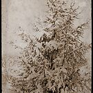 Old Xmas Tree by andytechie