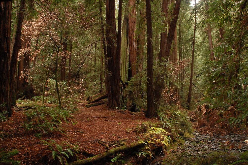 Muir Woods 2 by Elliot MacDonald