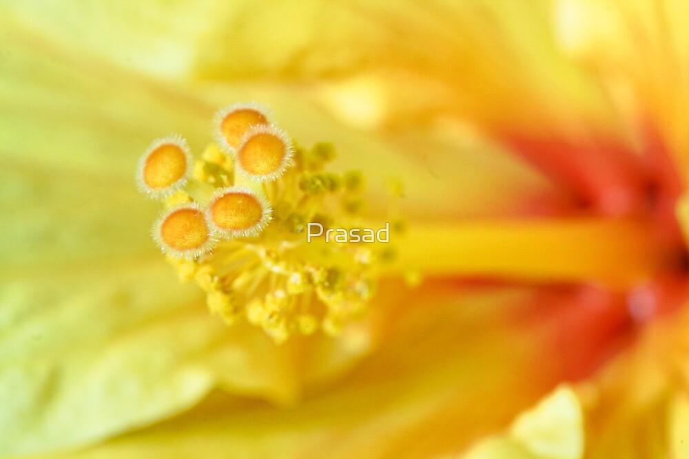 Hibiscus - A Close Encounter by Prasad