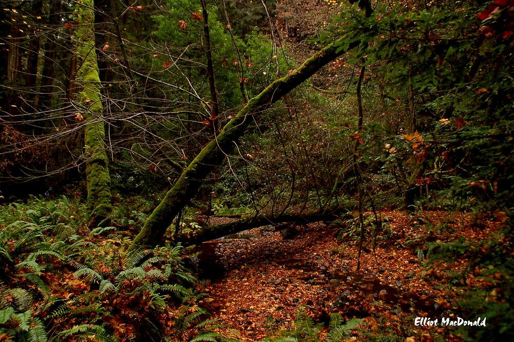 Muir Woods 4 by Elliot MacDonald