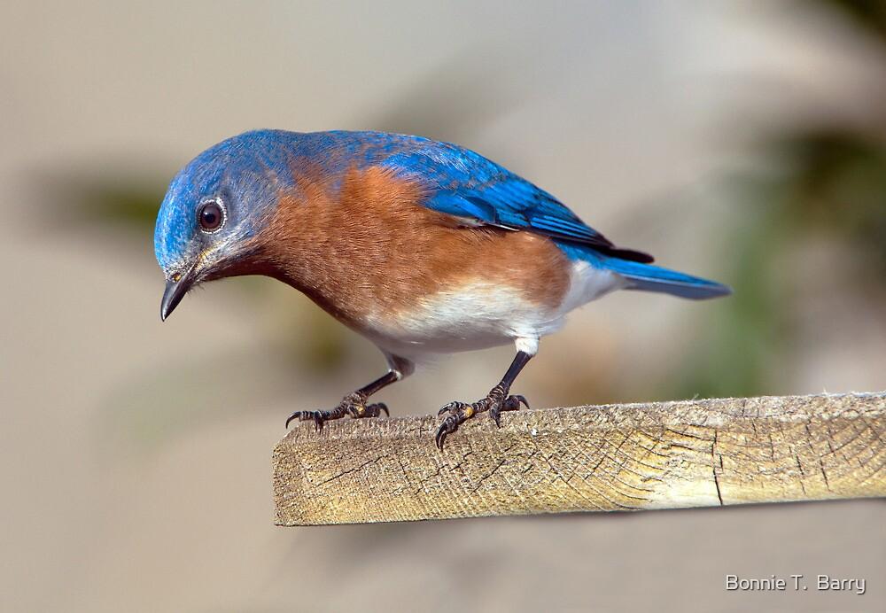 Curious Eastern Bluebird by Bonnie T.  Barry