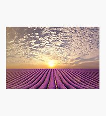 Sunset over a summer lavender field in Provence, France Photographic Print