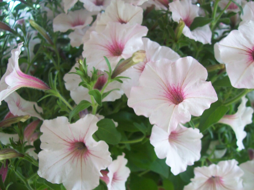 pink flowers by helmer