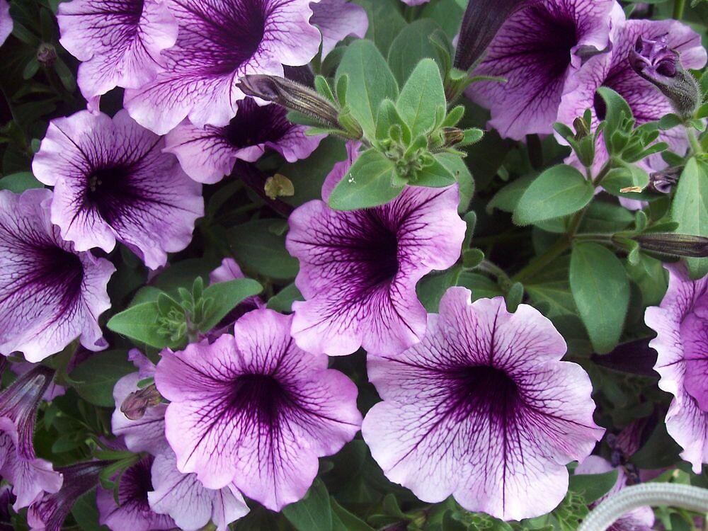 purple pleasure by helmer