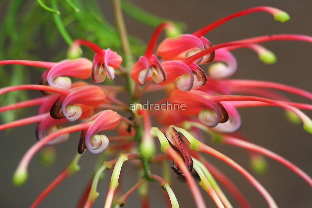 Grevillea  Pinaster by andrachne