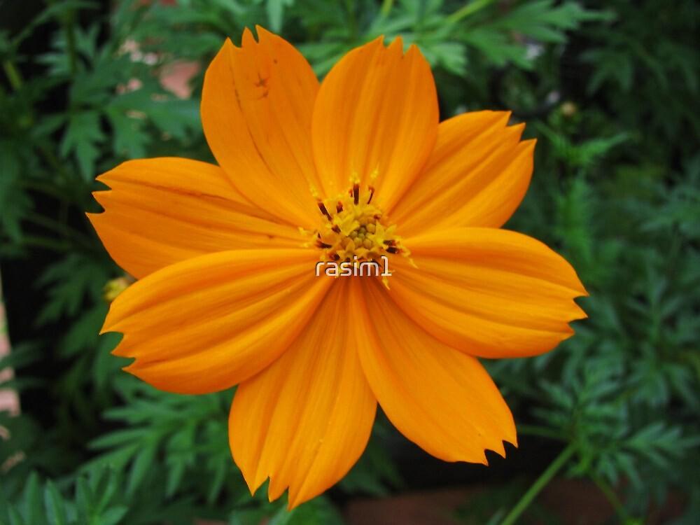 Orange cosmos by rasim1