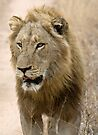 Male Lion by Michael  Moss