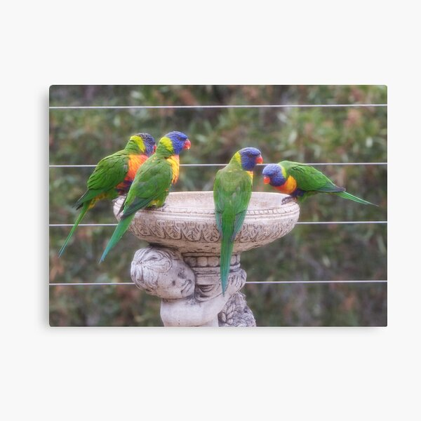 Four Lorikeets Canvas Print