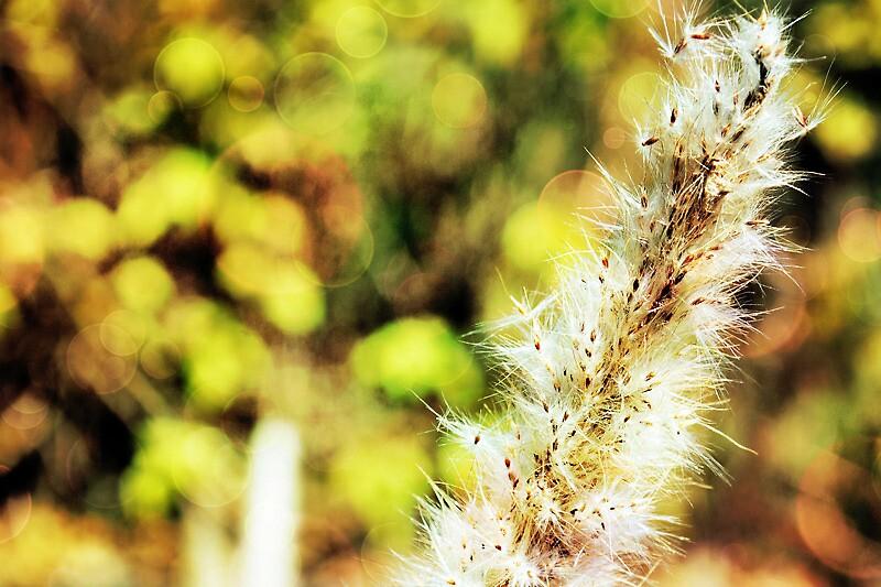 Cotton Plant by sandgabu