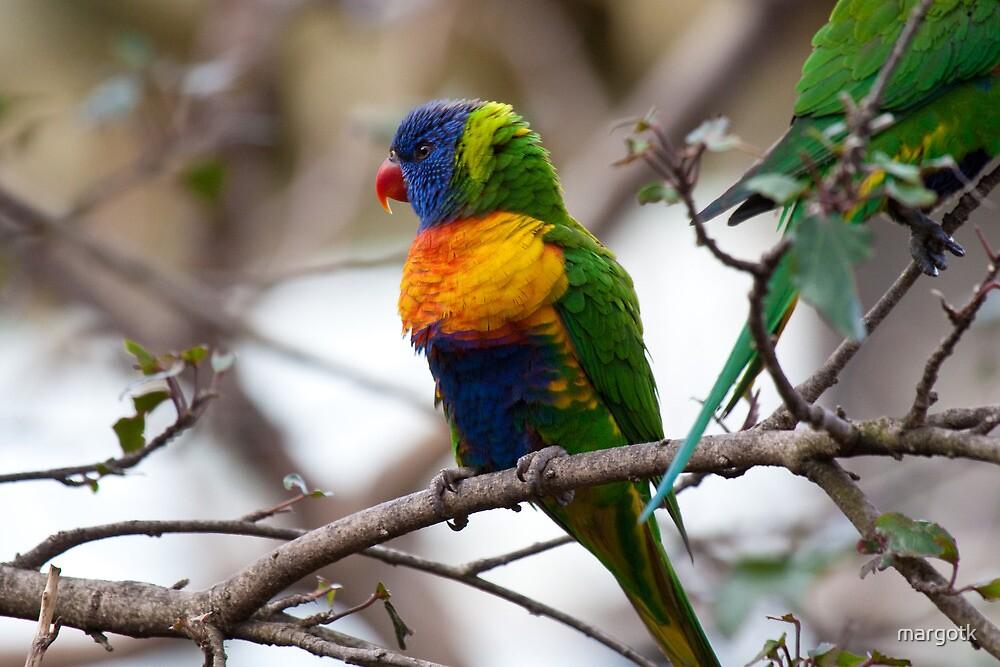 Rainbow Lorikeet by margotk