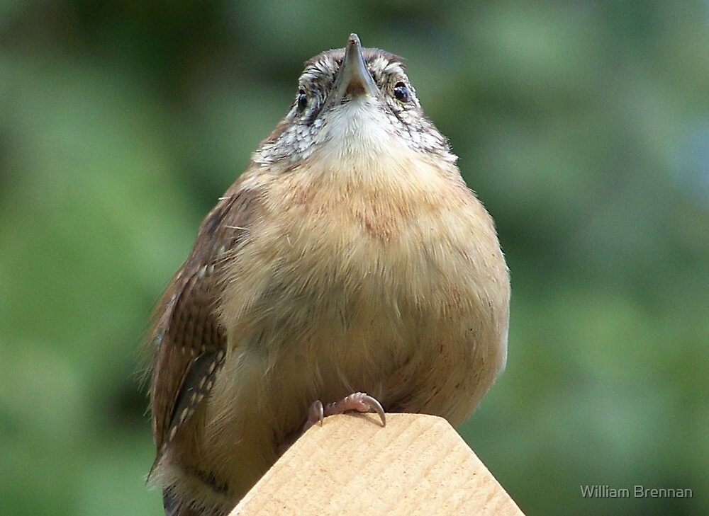 Carolina wren up close and personal. by William Brennan