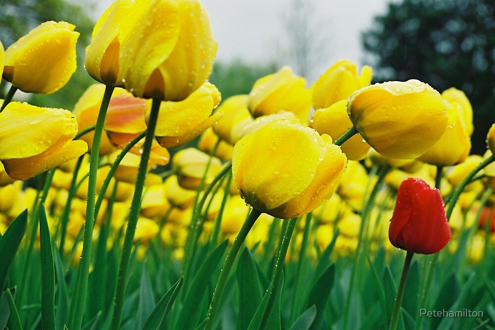 Yellow Tulips at Floraide 4 by Petehamilton