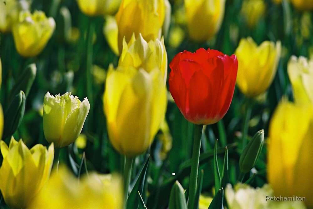 Red Tulip with yellows. by Petehamilton