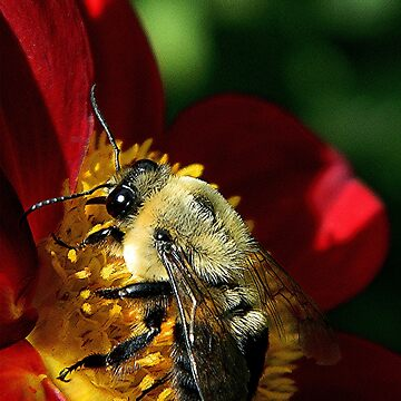 Close up of a bee by jammingene