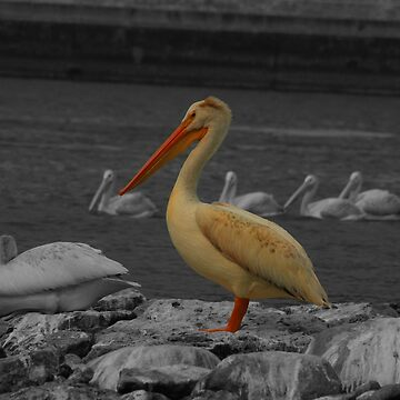 Pelican on a Rock in a River by rhamm