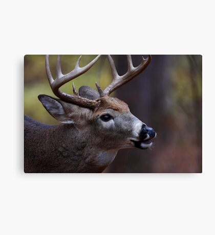 Big 10-pointer - White-tailed Deer Canvas Print