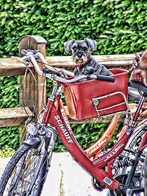Schnauzer on a bike by Ausgirl60