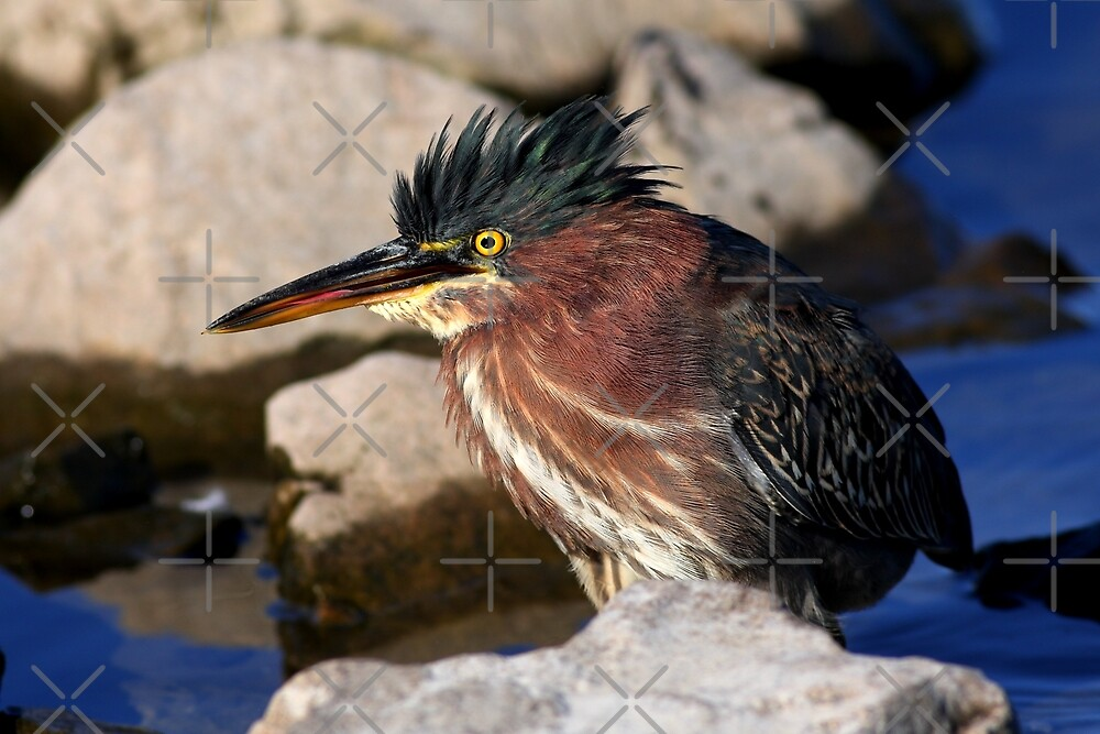 Green heron by Jim Cumming