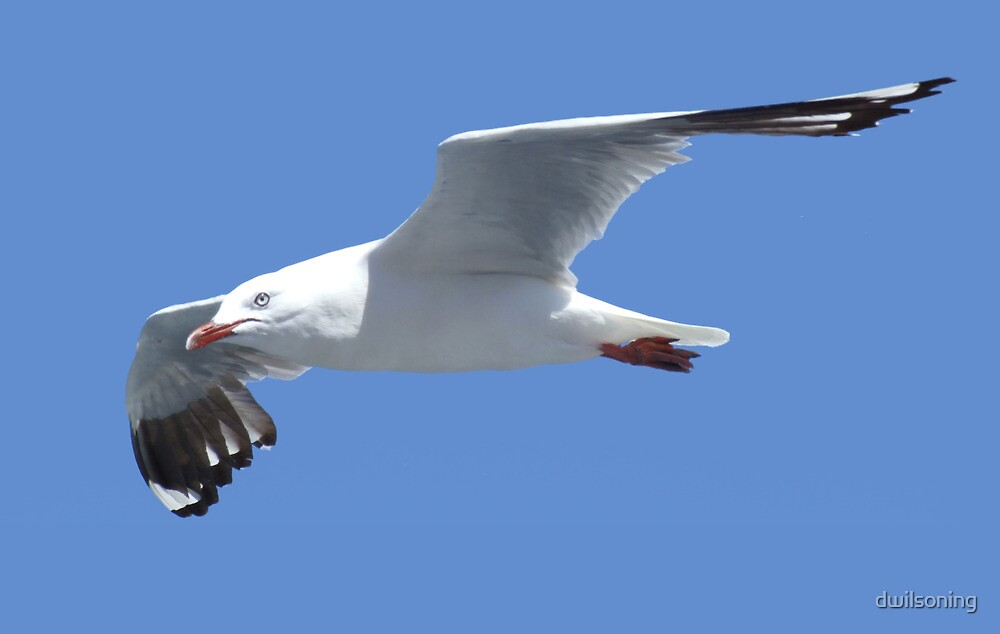 Seagull by dwilsoning