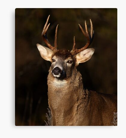I am 'King' of this forest! - White-tailed Deer Canvas Print