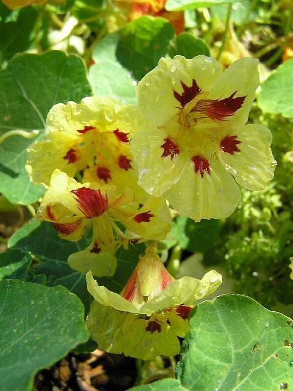 Nasturtiums by Wildflower7777