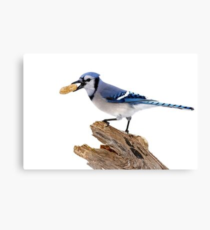 This is my peanut! Blue Jay Canvas Print
