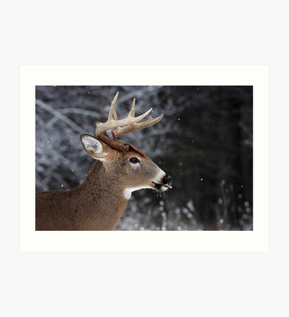 Catching Snowflakes - White-tailed Deer Art Print