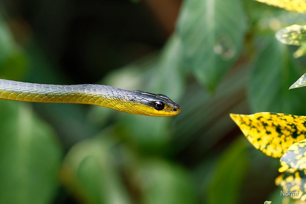 Australian green tree snake - Dendrelaphis punctulata by Normf