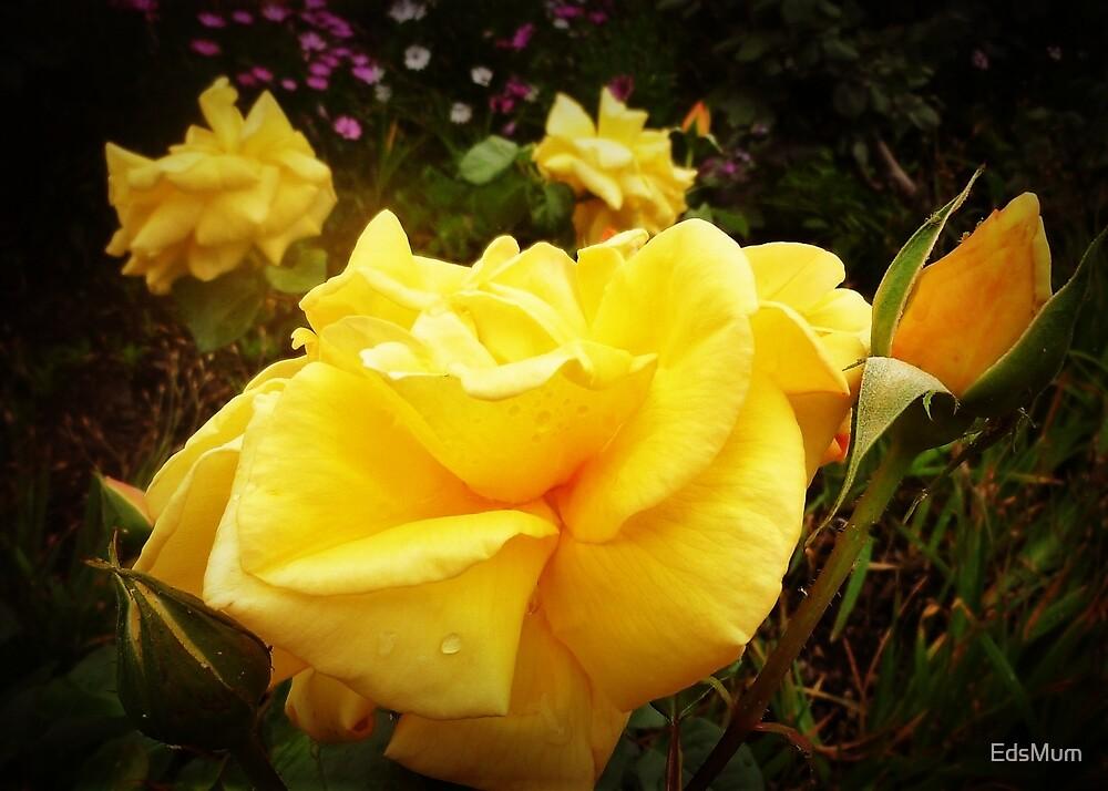 """Australian Gold"" Rose - Frühling 2018 von EdsMum"