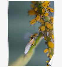 yellow aphids Poster