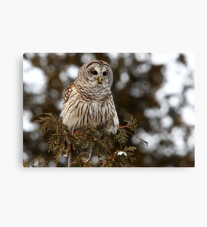 Barred Owl - Kanata Canvas Print