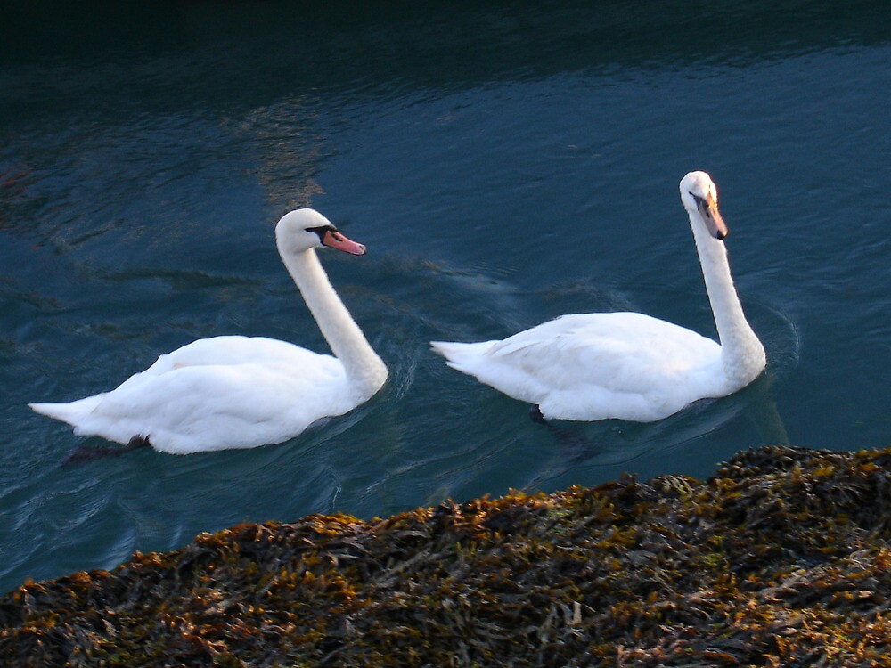 Swans on the river by RichardJohns