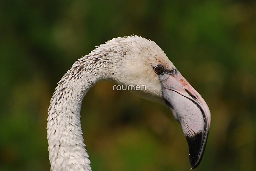 Flamingo - portrait by roumen