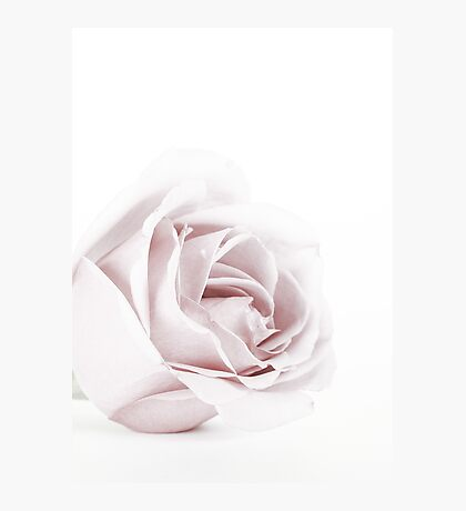 The Pink Rose Photographic Print