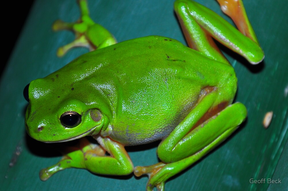 Tree Frog by Geoff Beck