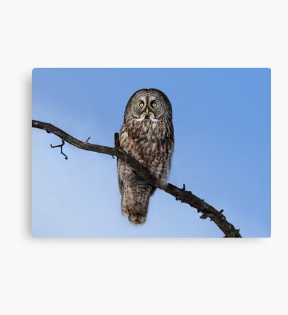 Great Grey owl sits in his perch Canvas Print
