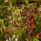 Monarch butterflies migration by Gabi Swanson