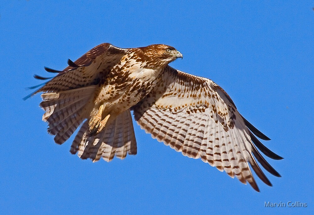 122509 Red Tailed Hawk by Marvin Collins