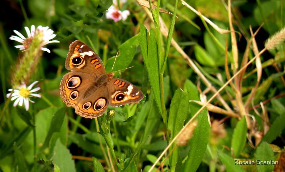 Buckeye Butterfly in Nature by Rosalie Scanlon