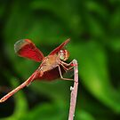 Red Dragonfly by Geoff Beck