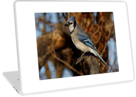 Blue Jay by Jim Cumming