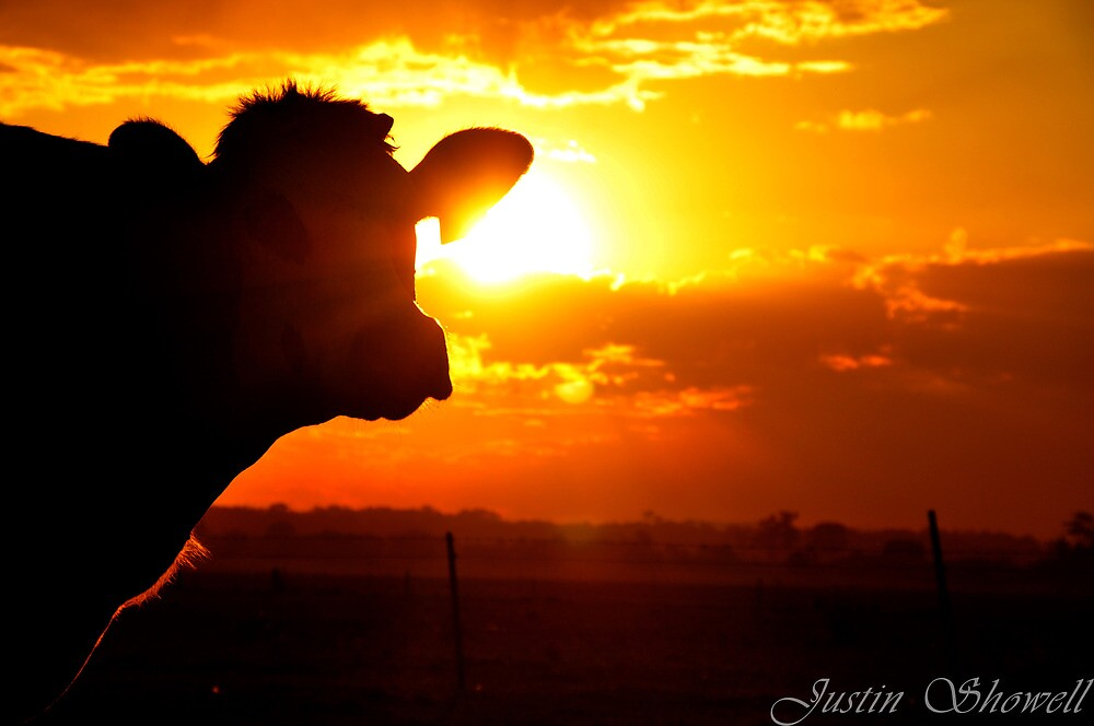 The Sunset behind the cow by Justin Showell