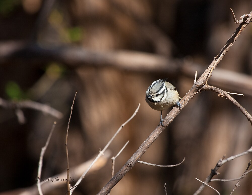 Bridled Titmouse by WiredMarys